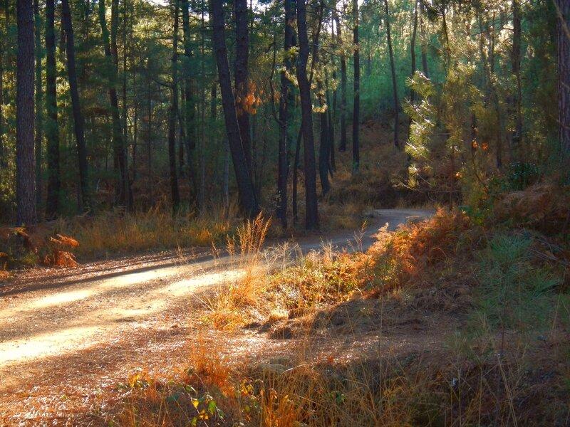 chemin sous les pins