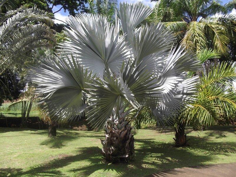 le palmier bleu