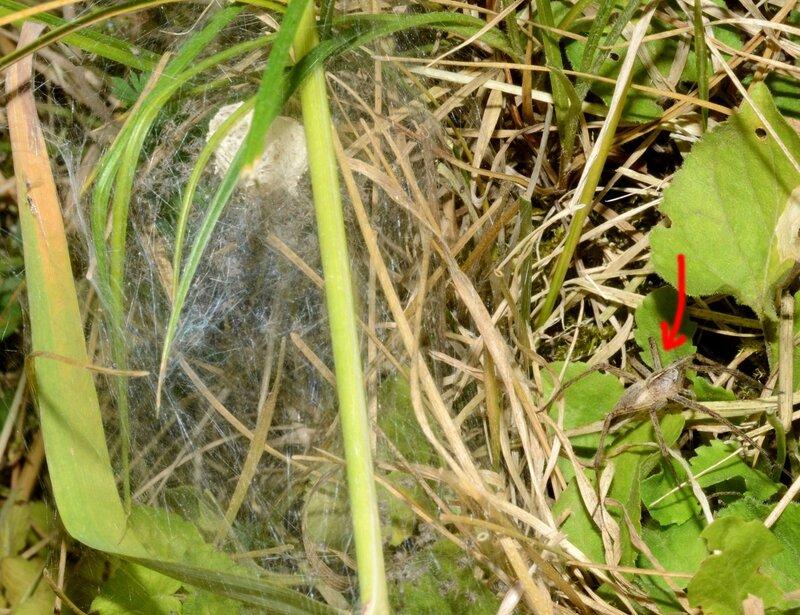 Pisaura mirabilis - Urzy - 10 juin 2014 - blog5