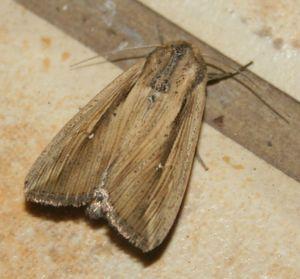 Leucania pseudoloreyi (8)