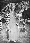 Miss_Cilly_and_tiger_at_Circus_Krone_1930s___Sanspareille