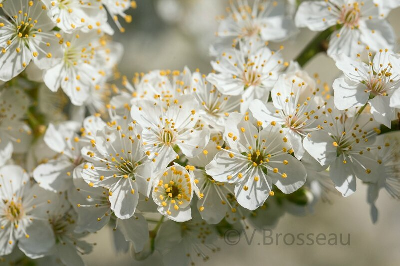 prunus-savage-15-04