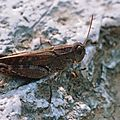 Calliptamus barbarus