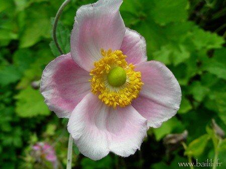 anemone_SeptemberC_5