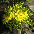 fleur de mahonia