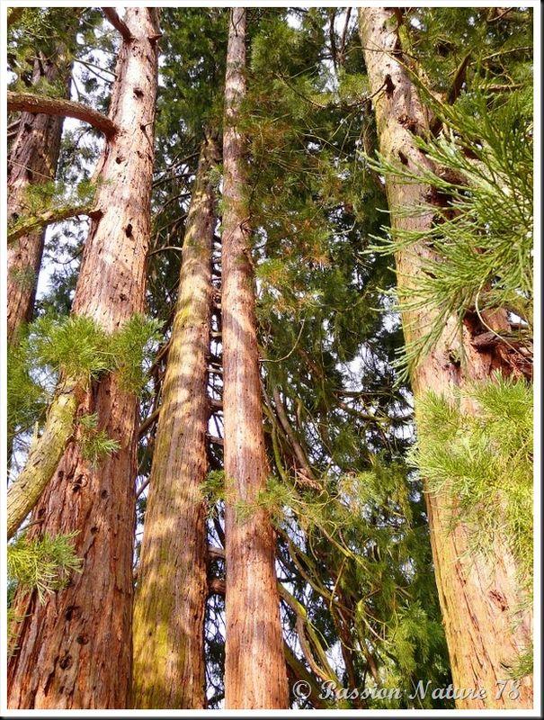 Le séquoia (5)