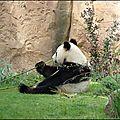 Panda géant (Ailuropoda melanoleuca)
