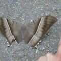 big papillon