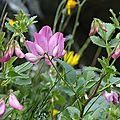 Bugrane à feuilles rondes
