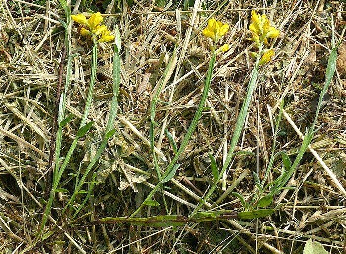 Tiges ligneuses couchées-radicantes rameaux redressés allongés herbacés