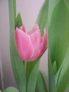 091216_tulipe_thierry