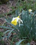 Narcissus_pseudonarcissus_Jonquille__4_