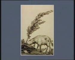 Cochon de Lapparent 3