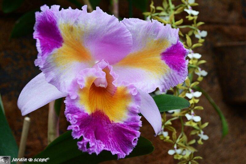 Orchidée-315