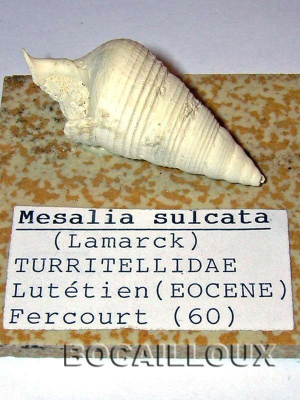 MESALIA SULCATA 2 60.FERCOURT