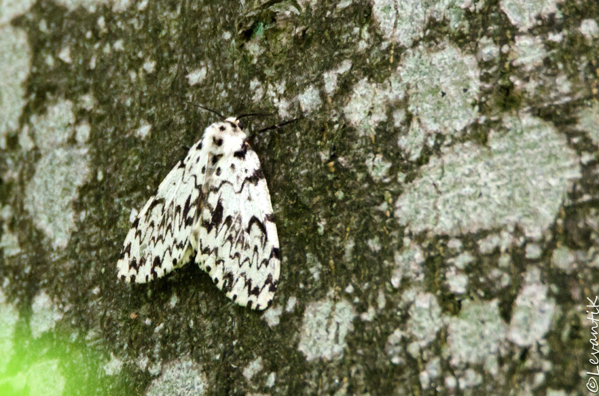 La Nonne - Lymantria monacha (1)