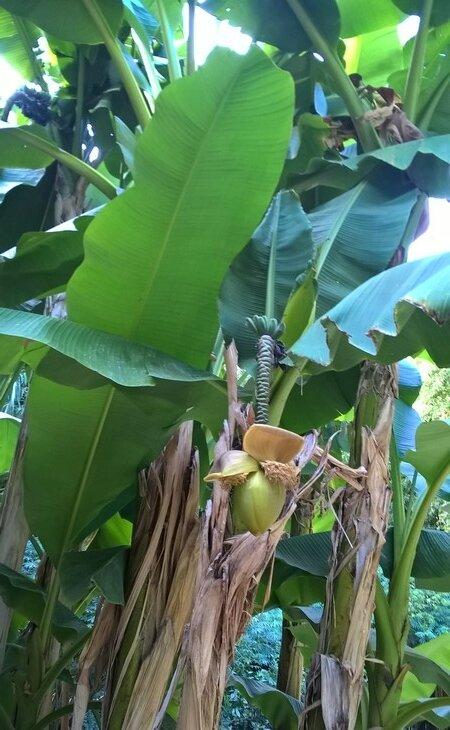 bambouseraie sept 2017 village laotien bananier