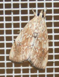 Crocidolomia pavonana 02 (3)