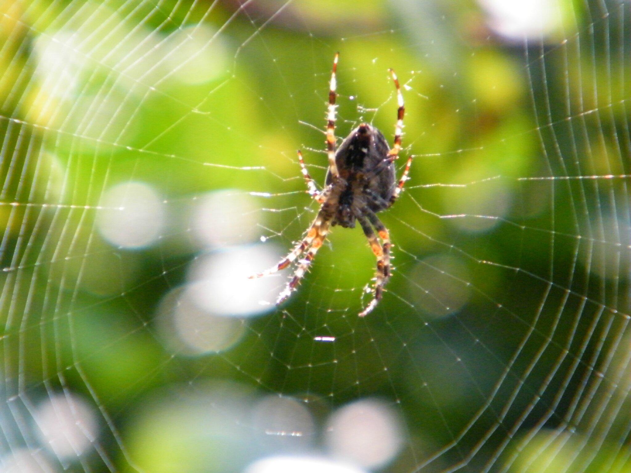 Le châle de Mam'zelle l'Araignée