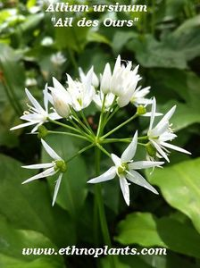 allium_ursinum-ethnoplants
