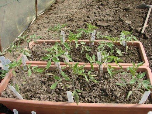 2008 04 21 Mes tomates sous serre en jardinière