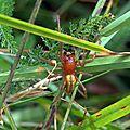 Miturgidae