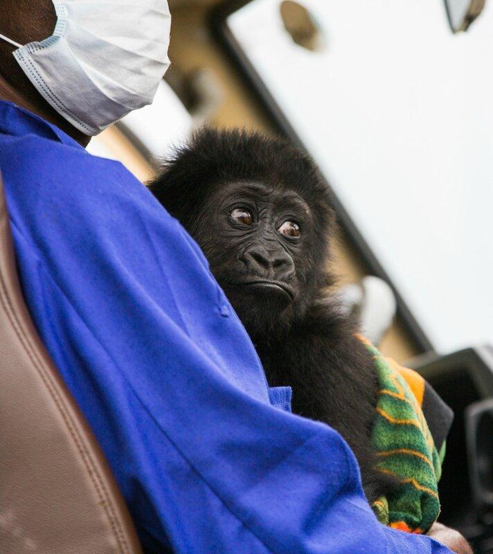 Gorille Lulingu_a