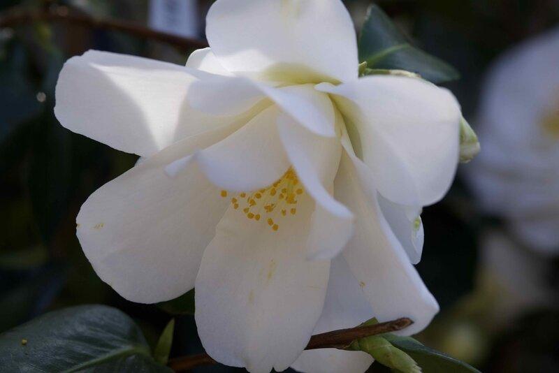 camélias blancs - 3
