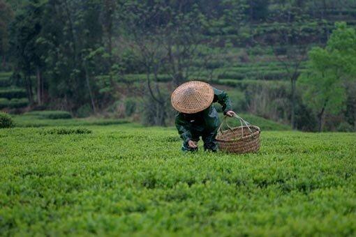 recolte de thé