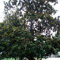 Magnolia grandiflora de belle taille !