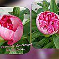 balanicole_2016_06_mai_juin_la saison des pivoines_06_boutons roses