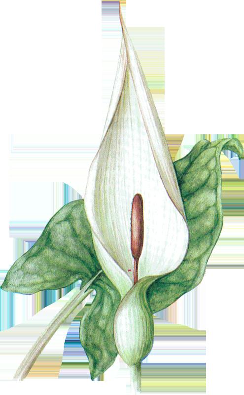 Gouet tacheté ou Arum sauvage • Arum maculatum