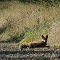 Renard roux - Vulpes vulpes (4)