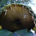2008 10 05 Une fleur fanée de tournesol Héliantus Lin