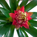 Le Guzmania, une plante exotique trs colore