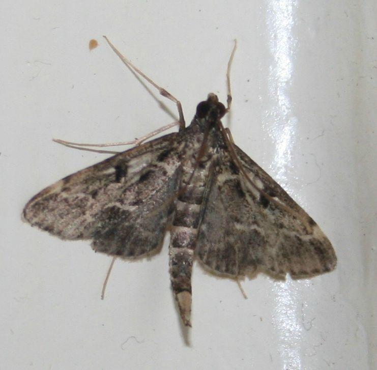 Duponchelia fovealis fovealis