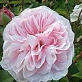 Rose_ancienne