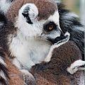 lemurien et son petit-0093