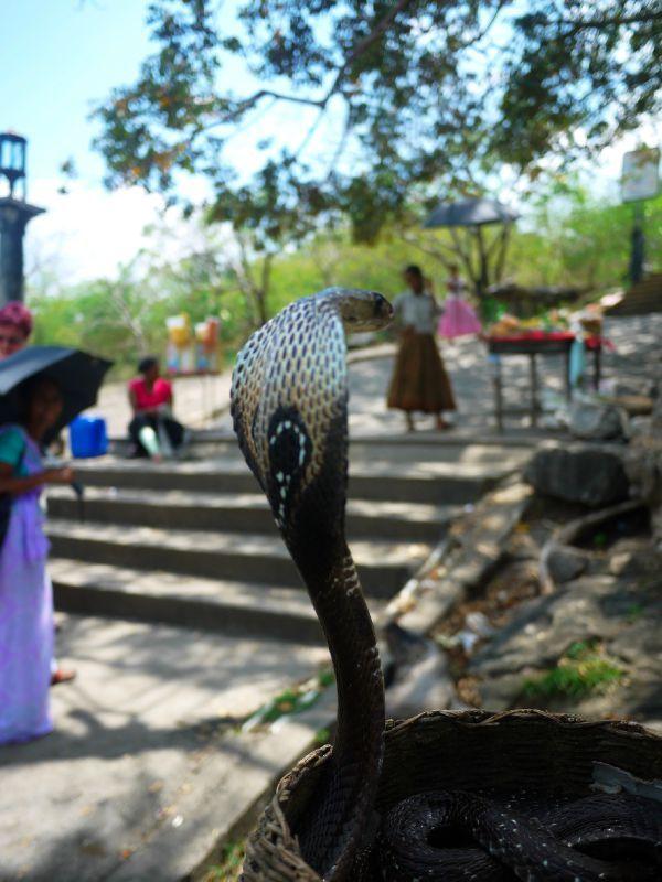 Sri Lanka cobra