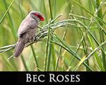 LIEN_bec_roses