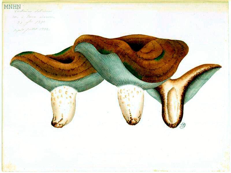 120 Lactarius deliciosus 21 9bre 1891, Refait juillet 1892 v vinosus