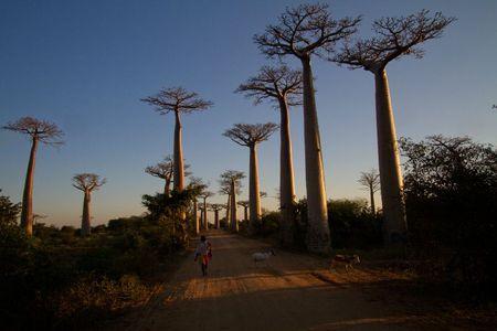 allee-des-baobabs