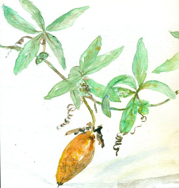 2- Liane fleur de la passion et son fruit