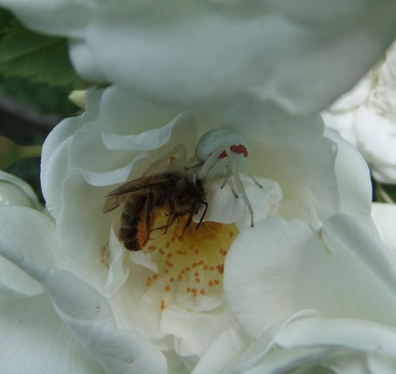 Misumène variable (Misumena varia), tuant une abeille