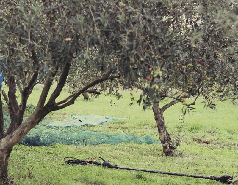 cueillette olives 031vnas