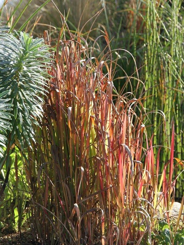 herbe sanglante