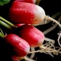 Les radis,