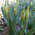2009 03 18 Narcisses