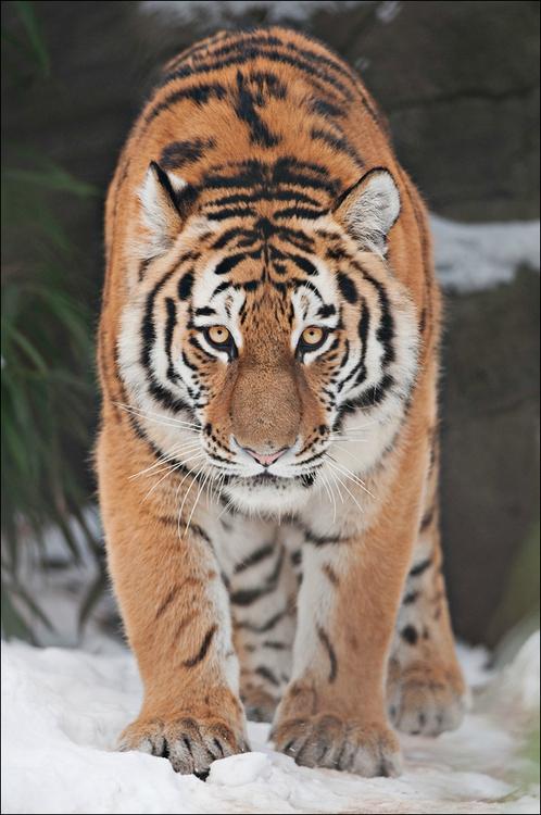tigre21254