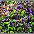Violettes 140315